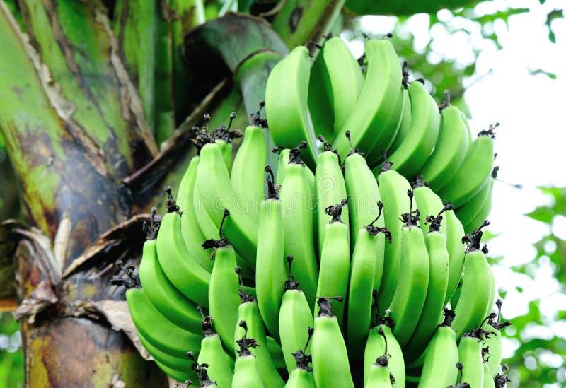 Download Banane sull'albero fotografia stock. Immagine di podere - 30828994
