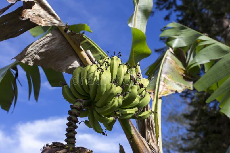 Banane sur l'arbre images libres de droits