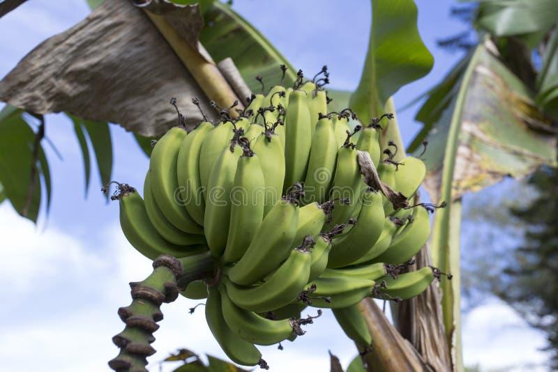 Banane sur l'arbre photo stock