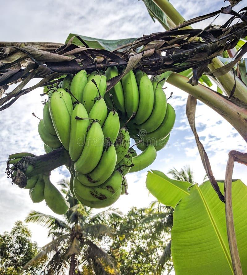 Banane verdi fotografie stock