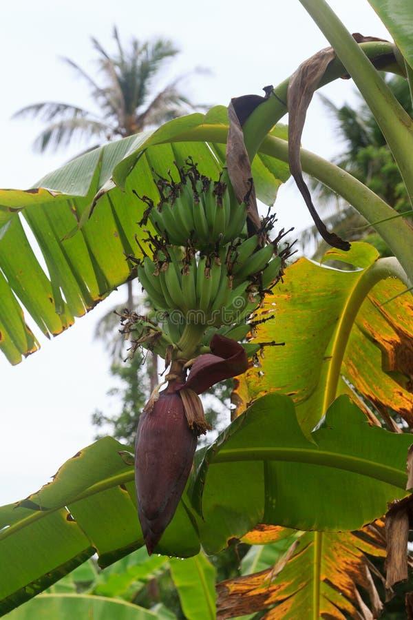 Banane verdi su un banano fotografia stock libera da diritti