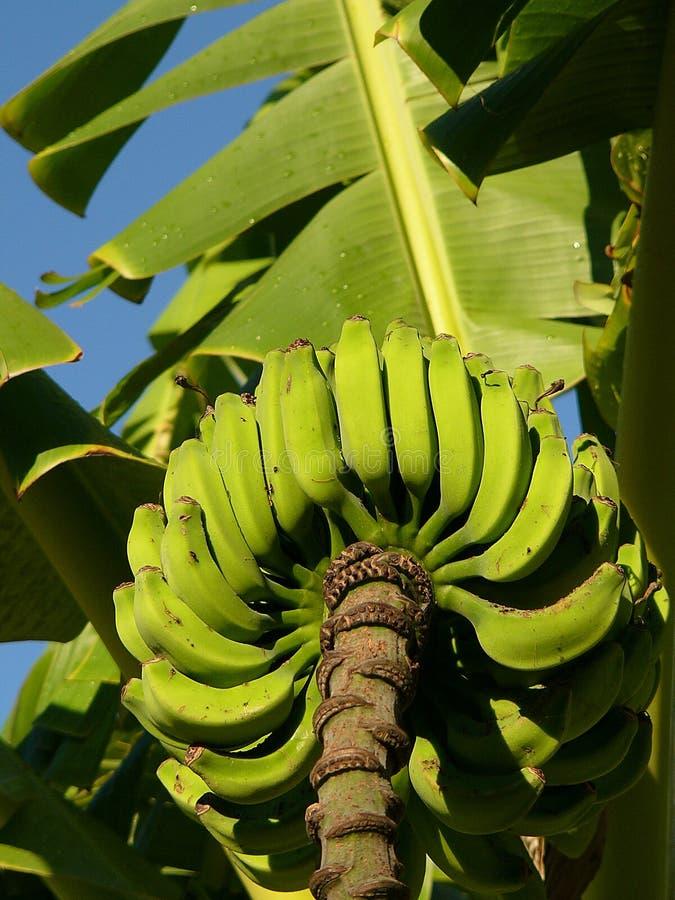 Banane verdi sull'albero immagini stock