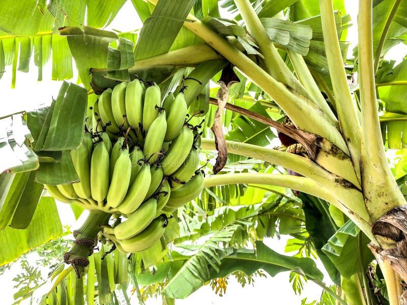 Banane von Thailand lizenzfreie stockfotos
