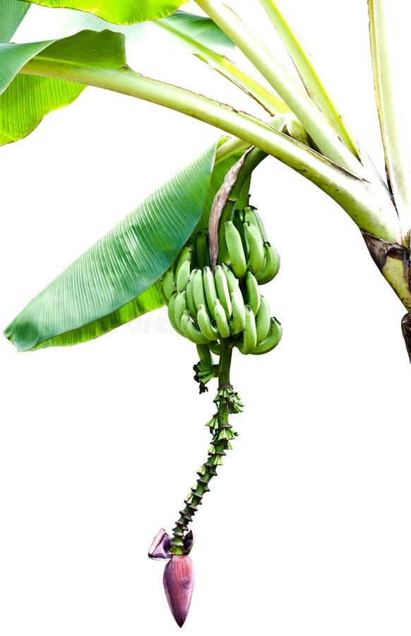 Bananen auf Baum mit Bananenblüte lizenzfreie stockfotos
