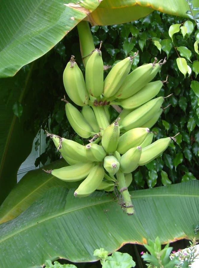 Bananen auf dem Baum lizenzfreie stockbilder