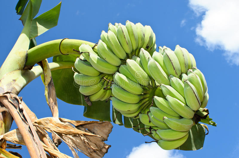 Bananen-Bündel auf Baum lizenzfreie stockbilder