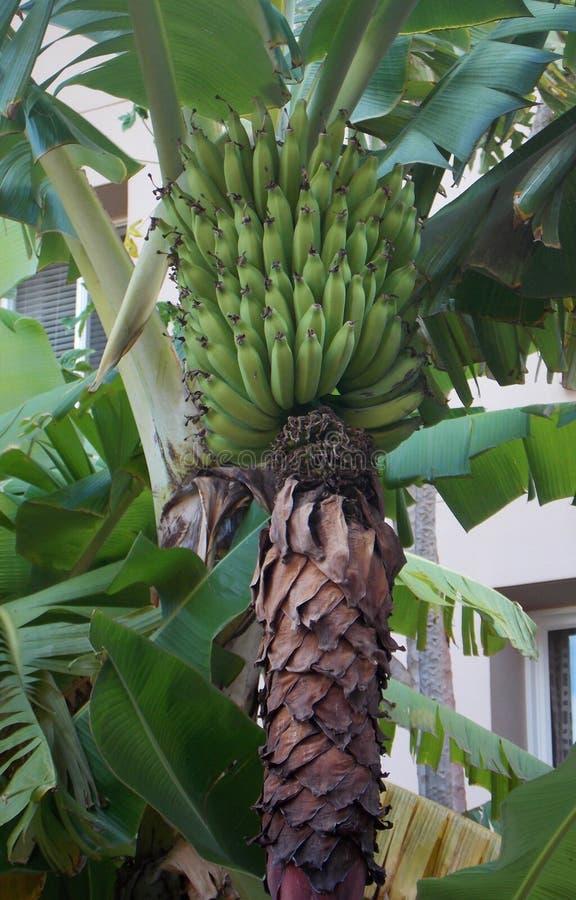 Bananen, die auf dem Baum reifen lizenzfreies stockbild