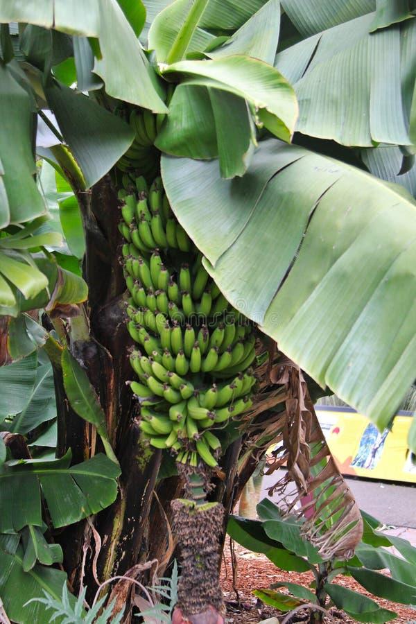 Bananen die op een banaanboom groeien stock afbeelding