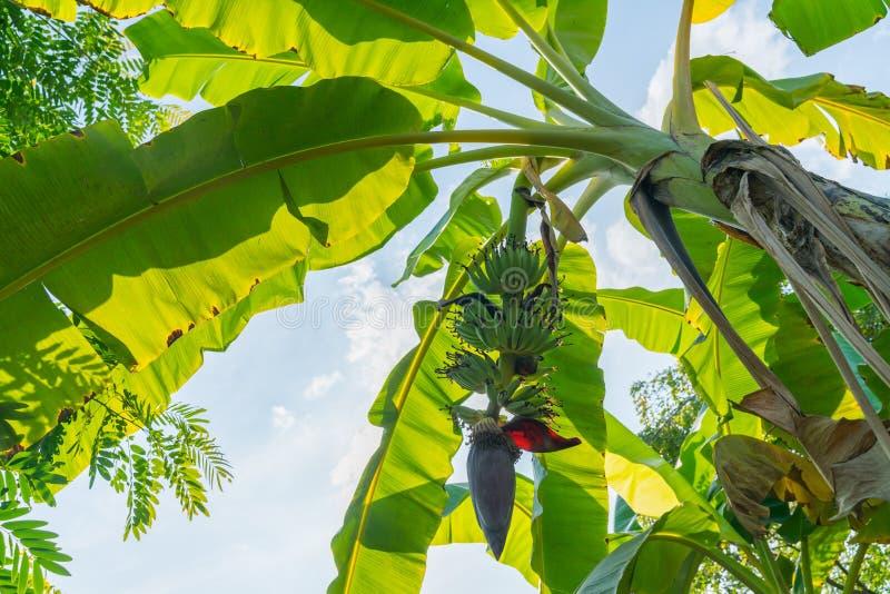 Bananen gömma i handflatan från låg punkt av solig himmel för sikten över fotografering för bildbyråer