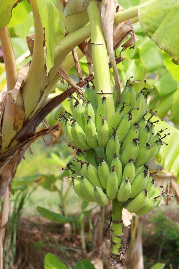 Bananen-Palme lizenzfreie stockfotos