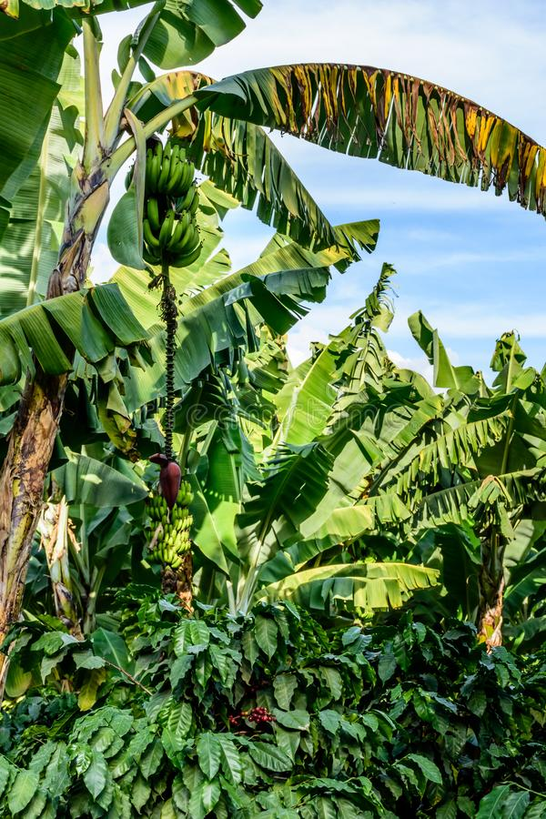 Bananen u. Bananenzierpflanzenbau auf Bananenstaudeschattierungs-Kaffeebüschen, Guatemala, Mittelamerika lizenzfreie stockbilder