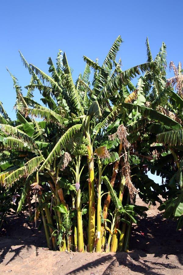 Bananenbäume lizenzfreie stockfotos
