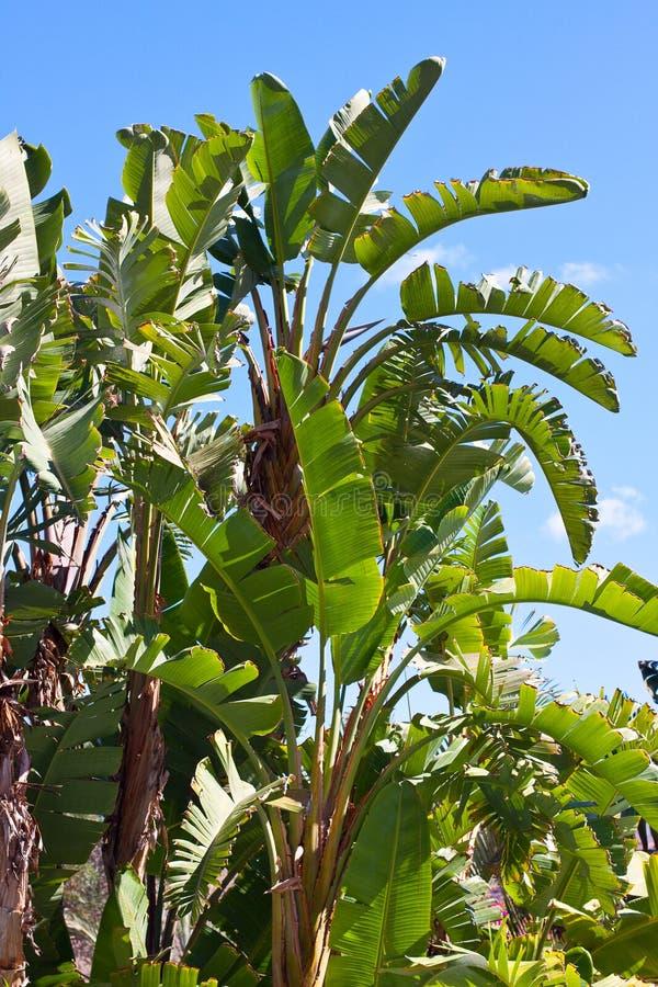 Bananenbaum stockbild