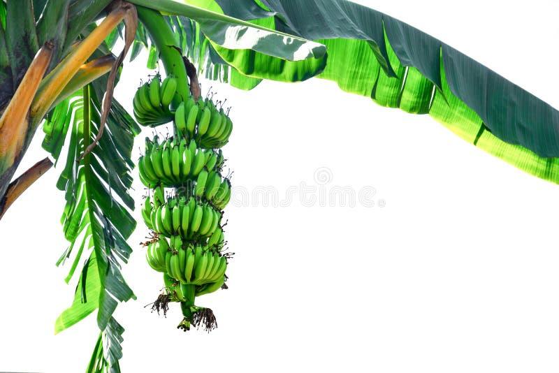 Bananenbaum, auf weißem Grund abgelegte grüne, unreife Bananen, Kopierraum lizenzfreies stockfoto