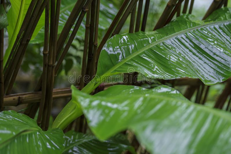 Bananenbaum gerade von Regen gewaschen stockfoto
