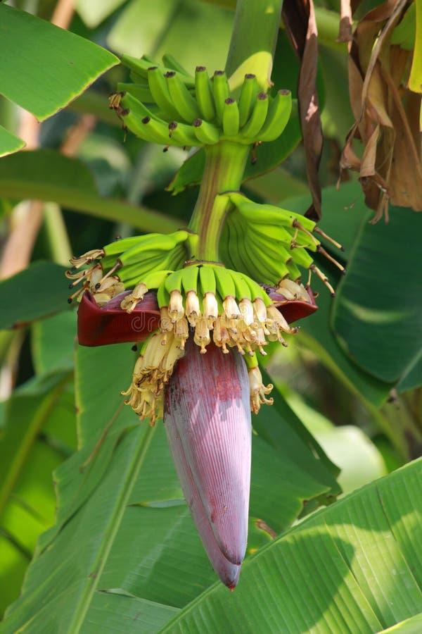 Bananenblüte stockbild