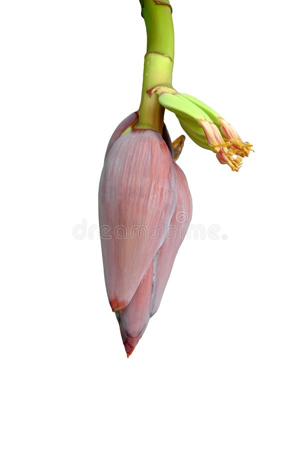 Bananenblüte vektor abbildung