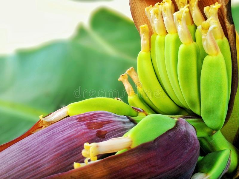Bananenblüte stockfotos