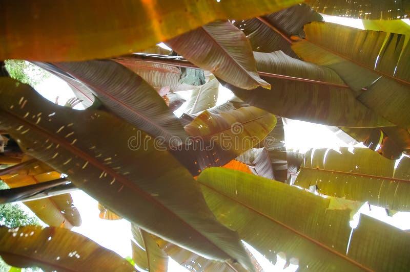 Download Bananenblatt stockbild. Bild von grün, frech, wachstum - 26369153