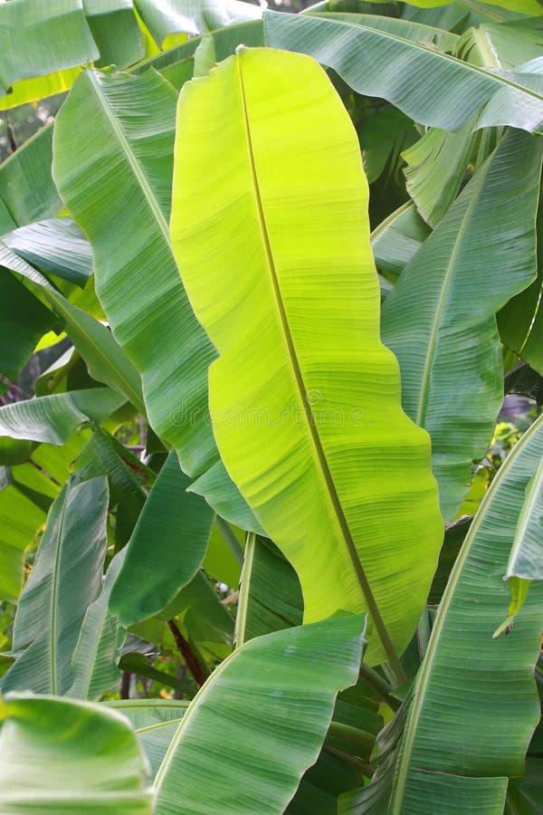 Bananenblatt lizenzfreies stockbild