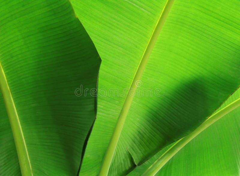 Bananenblattnahaufnahme lizenzfreie stockfotos