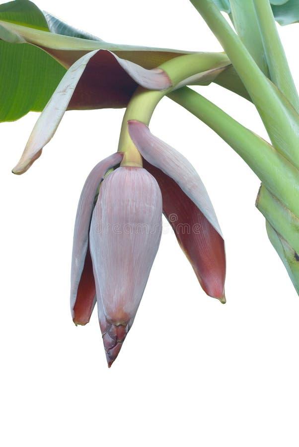 Download Bananenblume stockfoto. Bild von sonderkommando, grün - 26374744