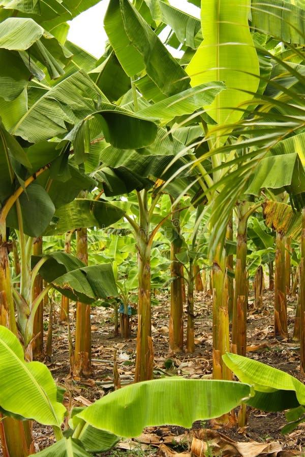 Bananenmonokultur stockfotografie