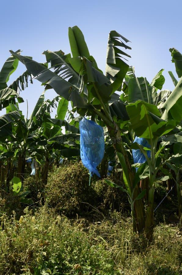 Bananenplantage Cameroon lizenzfreie stockbilder