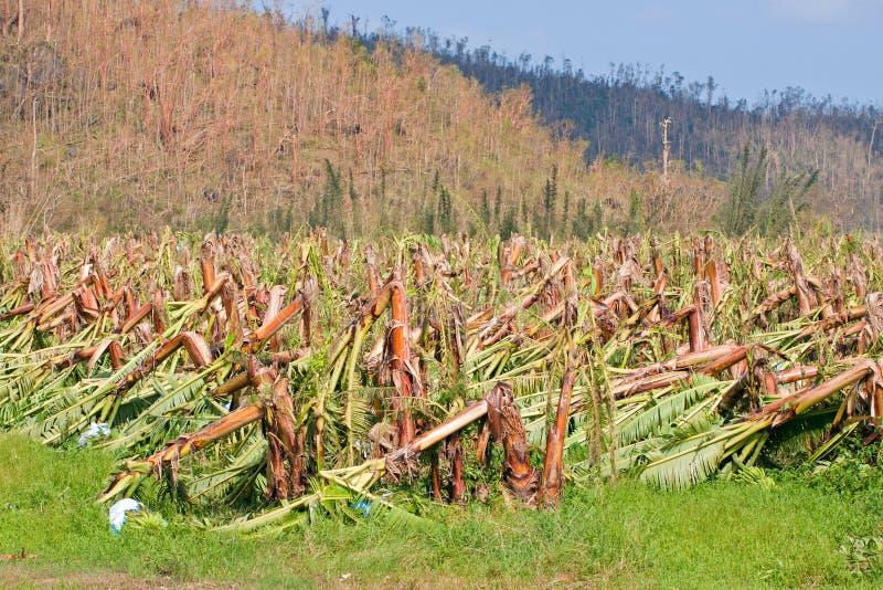 Bananenplantage zerstört durch Wirbelsturm stockfoto