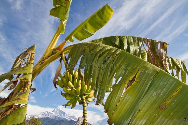 Bananenstaude lizenzfreies stockfoto