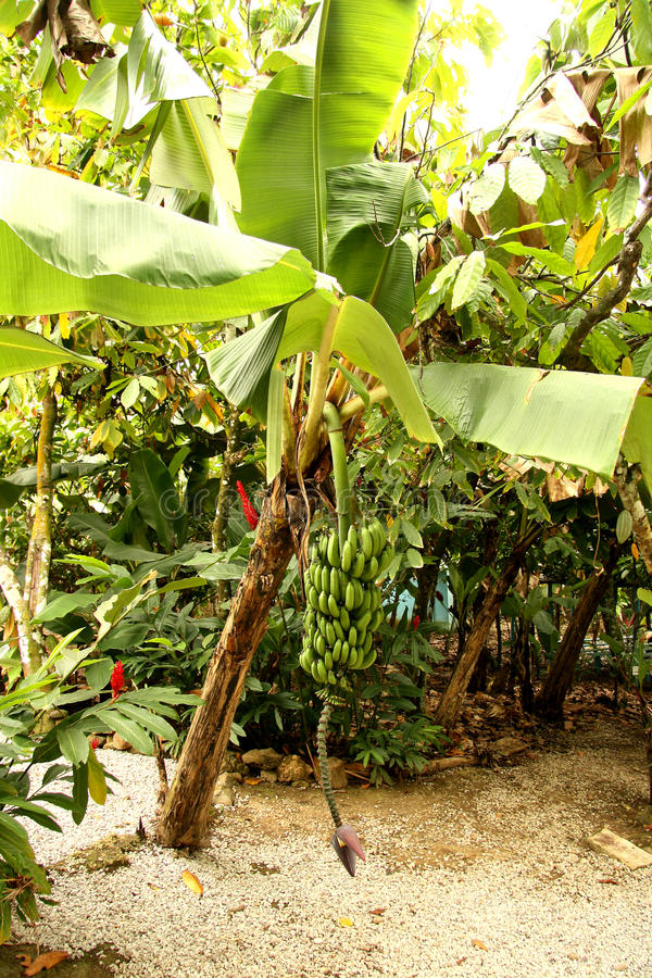 Bananenstaude stockfotografie