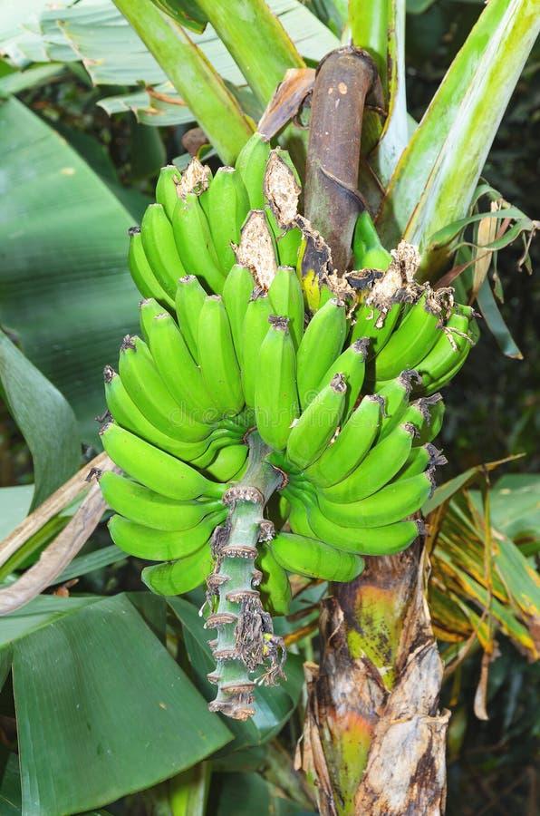 Bananenstaude, Bündel grüne Bananenfrüchte lizenzfreie stockbilder