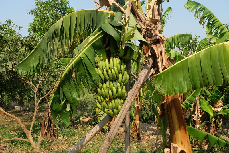 Bananenstaude im Garten lizenzfreie stockfotos