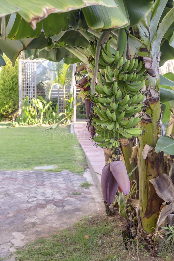 Bananenstaude mit dem reifenden Fruchtwachsen in der Gartennahaufnahme an einem Herbsttag lizenzfreies stockbild