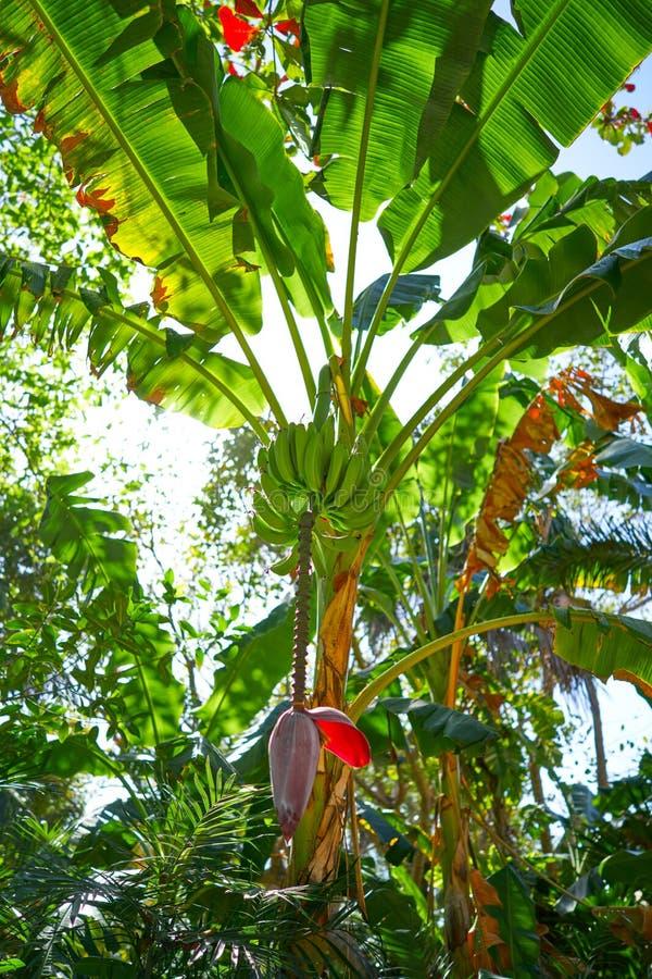 Bananenstaude mit Früchten und Blume in Mexiko stockbilder