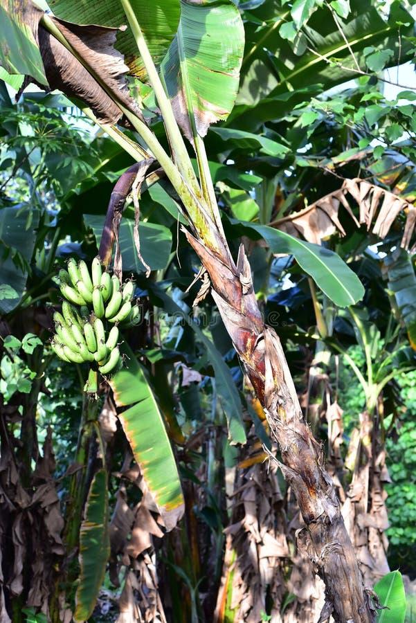 Download Bananenstaude In Philippinen Stockbild - Bild von bilder, frei: 106801081