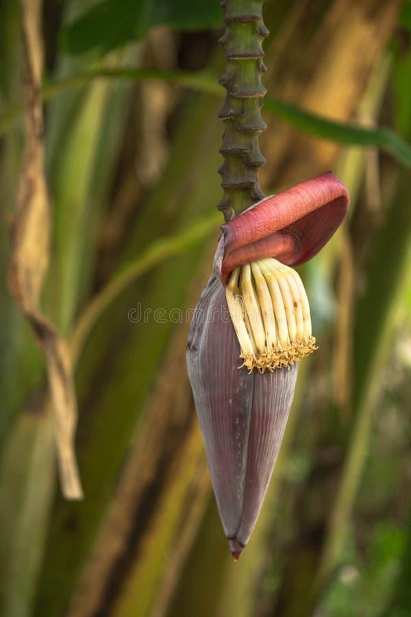 Bananenstaudeblüte lizenzfreie stockbilder