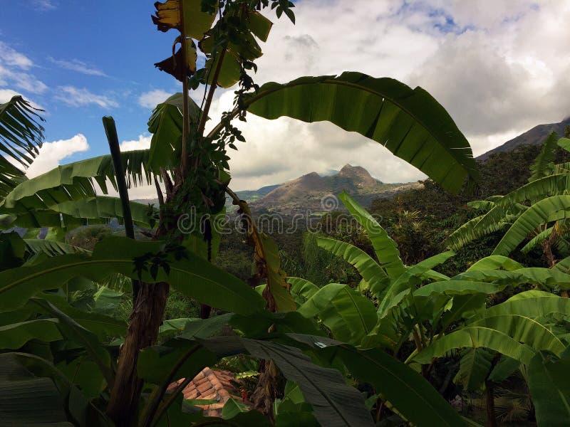 BANANENSTAUDEN MIT MOUNTAIN VIEW IN YUNGUILLA-TAL ECUADOR stockbilder
