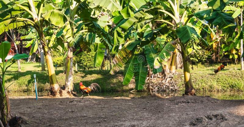 Bananenstaudeplantagen- und -wasserkan?le im Thailand stockfoto