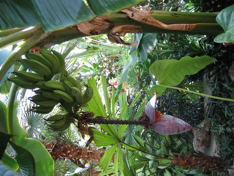 Bananenwachsen lizenzfreies stockbild