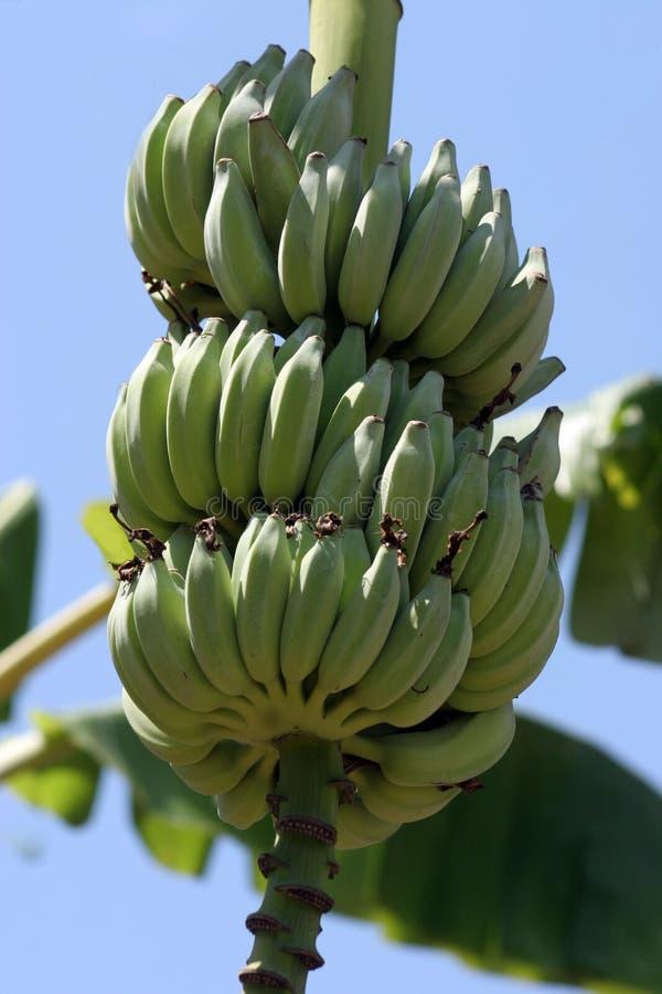 Bananes allantes photo libre de droits