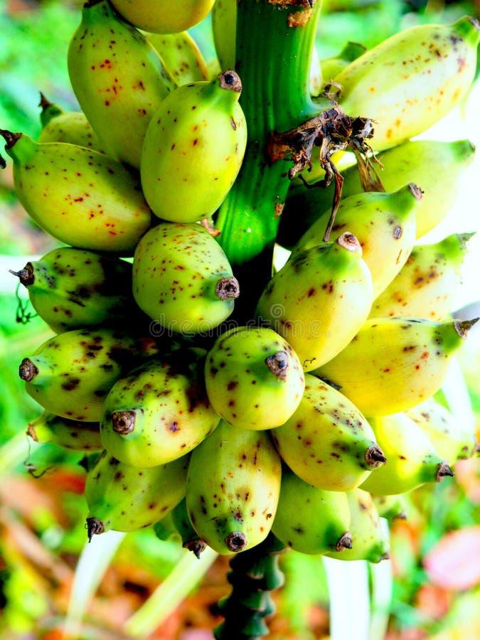 Bananes de bébé sur la vigne images stock