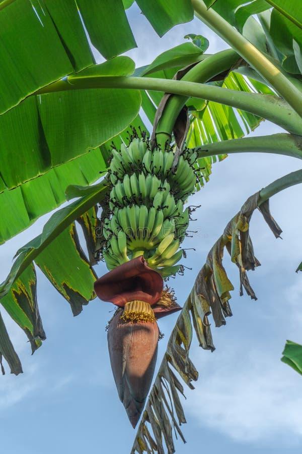 Bananes et fleur de banane sur le bananier images libres de droits