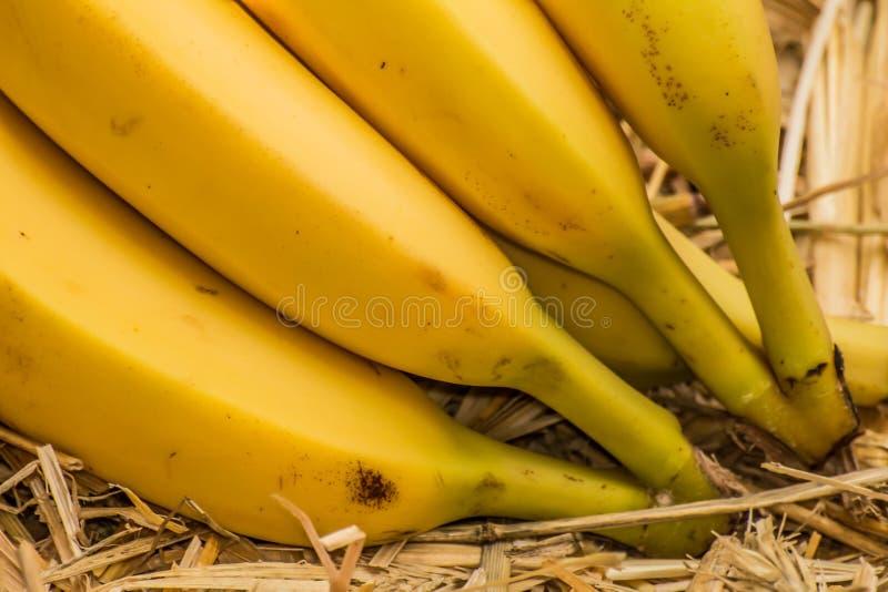 Bananes organiques, †latin «musa Fruits de banane sur le fond naturel de paille image libre de droits