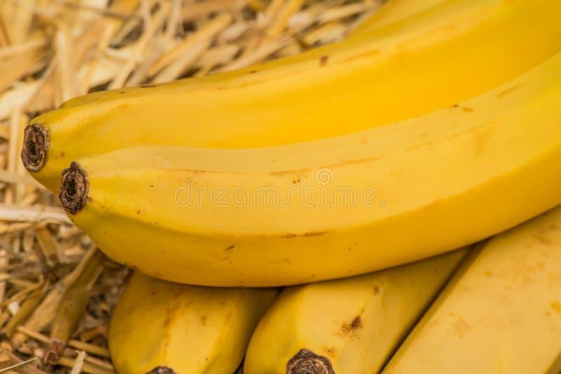 Bananes organiques, †latin «musa Fruits de banane sur le fond naturel de paille photo stock