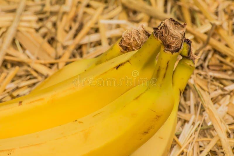 Bananes organiques, †latin «musa Fruits de banane sur le fond naturel de paille images libres de droits