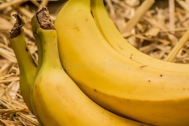 Bananes organiques, †latin «musa Fruits de banane sur le fond naturel de paille image stock