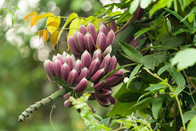 Bananes pourprées sur l'arbre images stock