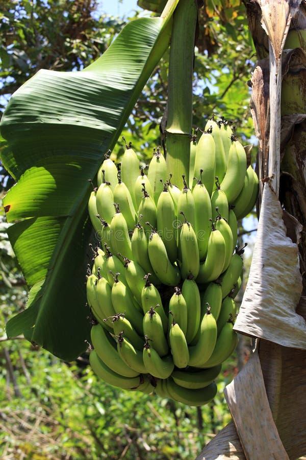 Bananes tropicales photos stock