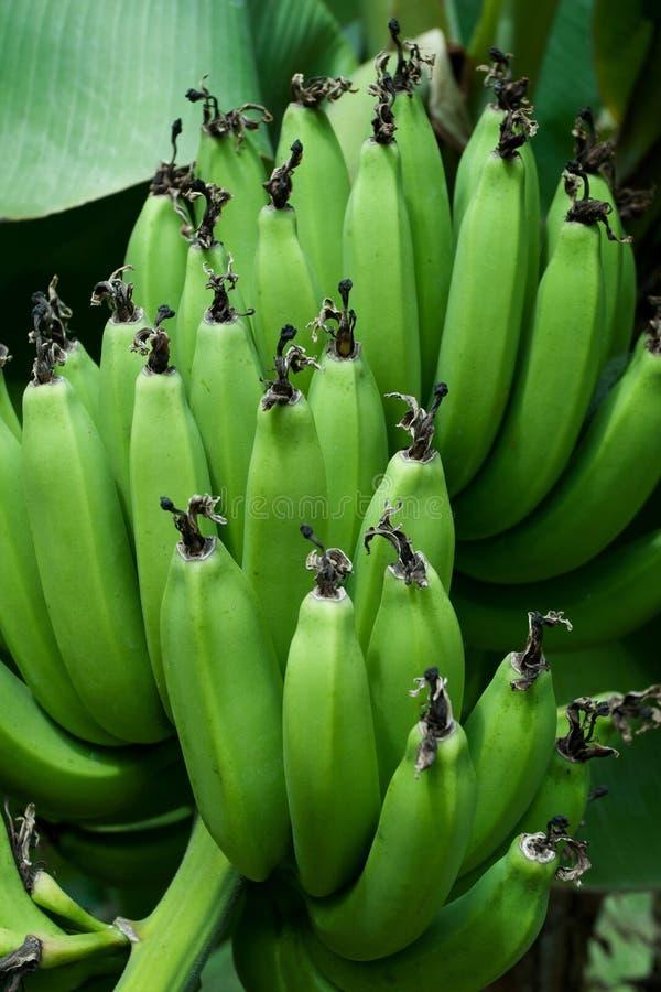 Bananes vertes photo stock
